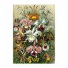 Sauca Collection Haeckel Lilly Flowers Printing