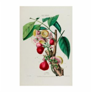 Sauca Collection	  L'Eugenie Botanical Poster